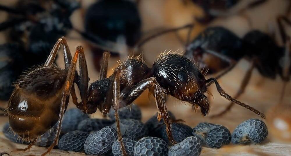 Виды муравьев для формикария