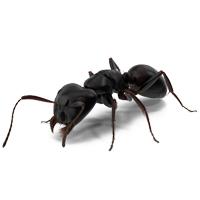 Содержание муравьев — Кампонотус Вагус