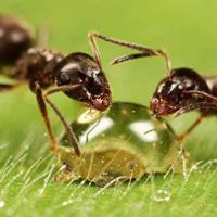 Как выбрать муравьев для фермы