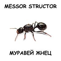 Messor structor — муравей жнец